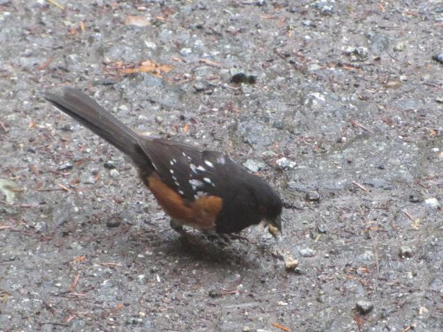 Squamish-Birding (7)